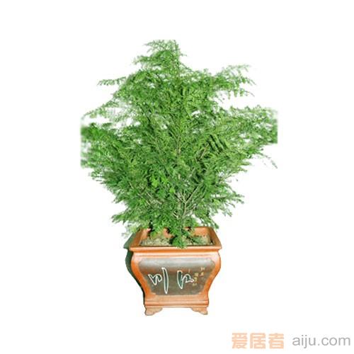 红豆牌红豆杉盆景精品五号(高:160CM)防癌抗癌净化空气